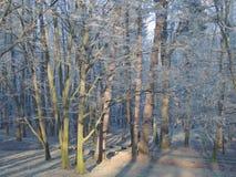 Alberi congelati Fotografia Stock