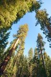 Alberi contro il cielo in Yosemite fotografia stock libera da diritti