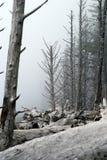 Alberi costieri nebbiosi spogliati dal vento Fotografia Stock Libera da Diritti
