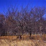 Alberi d'autunno della selvaggio-prugna Immagine Stock Libera da Diritti