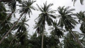 Alberi d'ondeggiamento del cocco in giungle scambio di tempo Prima della tempesta stock footage