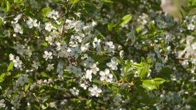 Alberi da frutto di fioritura video d archivio