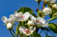 Alberi da frutto di fioritura Fotografie Stock Libere da Diritti