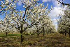 Alberi da frutto di fioritura del vicolo nel frutteto Immagine Stock Libera da Diritti