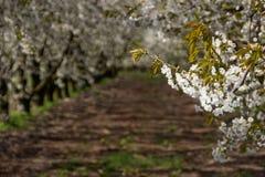 Alberi da frutto di fioritura del vicolo nel frutteto Immagine Stock