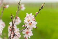 Alberi da frutto di fioritura nel frutteto di primavera Immagine Stock Libera da Diritti