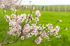 Alberi da frutto di fioritura nel frutteto di primavera Fotografie Stock Libere da Diritti