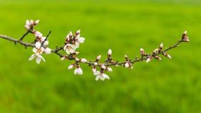 Alberi da frutto di fioritura nel frutteto di primavera Fotografia Stock Libera da Diritti