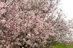 Alberi da frutto di fioritura nel frutteto di primavera Fotografia Stock
