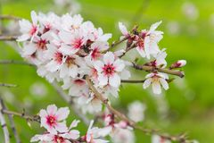 Alberi da frutto di fioritura nel frutteto di primavera Immagine Stock