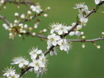 Alberi da frutto di fioritura in primavera Immagine Stock Libera da Diritti