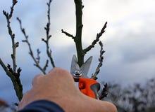 Alberi da frutto di potatura potando le cesoie Immagine Stock Libera da Diritti