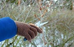 Alberi da frutto di potatura potando le cesoie Fotografie Stock