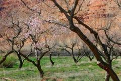 Alberi da frutto e roccia rossa Moab fotografia stock libera da diritti