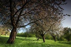 Alberi da frutto in fiore Fotografia Stock