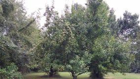 Alberi da frutto in fioritura Fotografie Stock