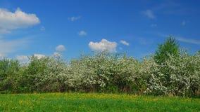 Alberi da frutto sboccianti della mela in frutteto nella primavera video d archivio
