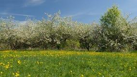 Alberi da frutto sboccianti della mela in frutteto nella primavera stock footage