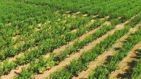Alberi da frutto verdi sull'azienda agricola stock footage