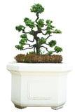 Alberi dei bonsai. Fotografia Stock