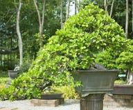 Alberi dei bonsai. Fotografie Stock