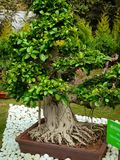 Alberi dei bonsai di Indain per la decorazione domestica fotografie stock libere da diritti