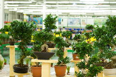 Alberi dei bonsai in vasi immagine stock libera da diritti
