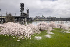 Fiori di ciliegia lungo il fiume di Willamette Fotografie Stock Libere da Diritti