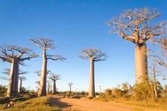 Alberi del baobab Immagine Stock Libera da Diritti
