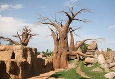 Alberi del baobab in Biopark immagini stock libere da diritti