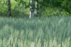 Alberi del campo e di betulla dell'avena Immagini Stock