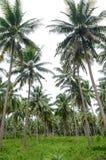 Alberi del cocco immagine stock