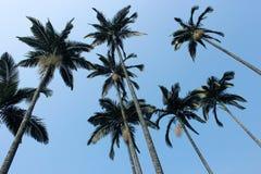 Alberi del cocco Fotografia Stock