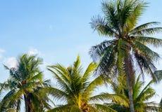 Alberi del cocco Fotografia Stock Libera da Diritti