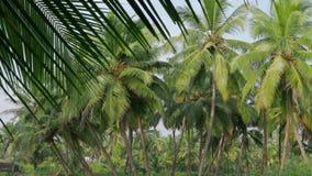 Alberi del cocco, bello fondo tropicale 4K archivi video