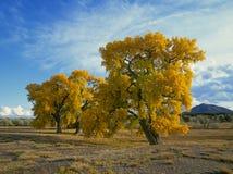 Alberi del Cottonwood in autunno Fotografia Stock