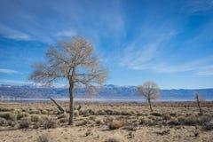 Alberi del deserto di California Immagine Stock