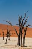 Alberi del deserto di Namib Immagine Stock