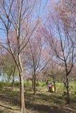 Alberi del fiore di ciliegia Immagini Stock Libere da Diritti
