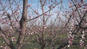 Alberi del fiore di ciliegia archivi video