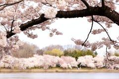 Alberi del fiore di ciliegia sopra il bacino di marea Immagini Stock