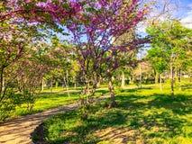 Alberi del fiore nel parco della città in primavera Scena della natura con il sole nel giorno soleggiato fotografia stock libera da diritti