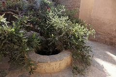 Alberi del franchincenso in Salalah, Oman fotografia stock