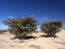Alberi del franchincenso, Wadi Dawkah, Oman immagine stock
