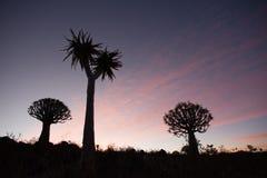 Alberi del fremito con il tramonto Fotografia Stock