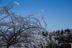 Alberi del ghiaccio Fotografie Stock Libere da Diritti