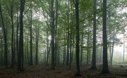 Alberi del hornbeam e della quercia contro indicatore luminoso della mattina immagine stock
