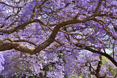 Alberi del Jacaranda Fotografia Stock