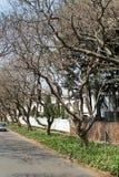 Alberi del Jacaranda lungo il lato della strada a Johannesburg Fotografia Stock