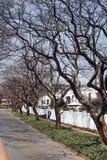 Alberi del Jacaranda lungo il lato della strada a Johannesburg Immagini Stock